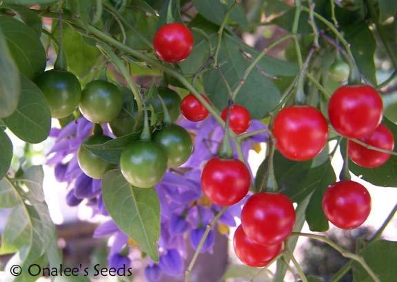 Image 2 of St. Vincent's Lilac (AKA:  Italian Jasmine, Potato Vine) Solanum seaforthianum