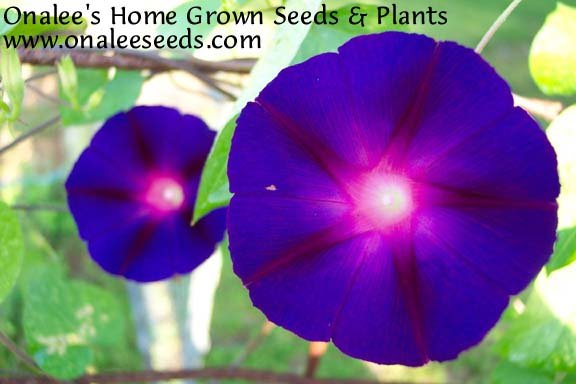 Image 0 of Star of Yelta (Deep Velvety Purple) Morning Glory (Ipomoea purpurea) Seeds