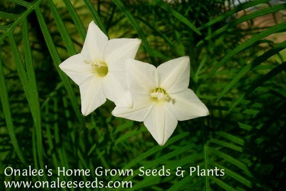 Cypress Vine: White (Hummingbird Vine/Star Glory) Seeds (Ipomoea quamoclit)