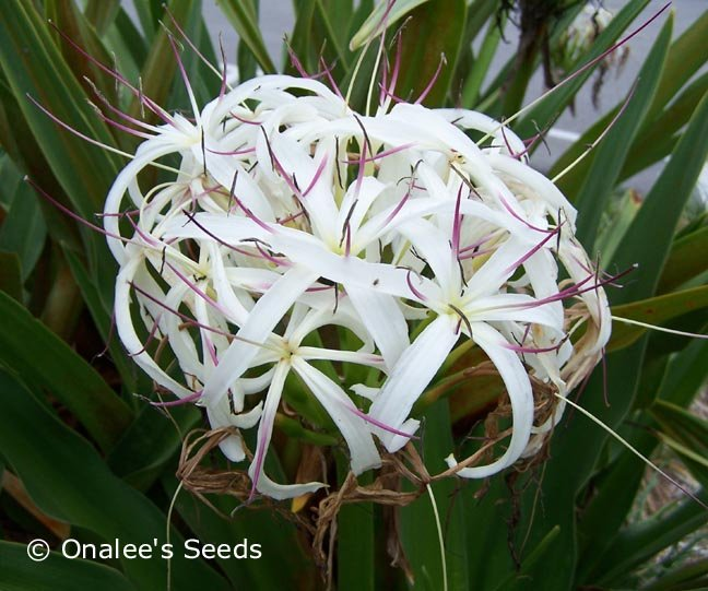 Crinum Lily: White Giant/Grand Spider Lily, Crinum asiaticum Seeds