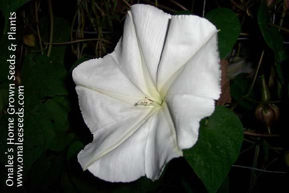 Image 0 of MoonVine Seeds: White, Moonflower, Fragrant Night Bloomer, Ipomoea Alba