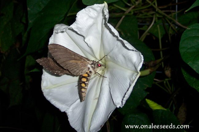 Image 1 of MoonVine Seeds: White, Moonflower, Fragrant Night Bloomer, Ipomoea Alba