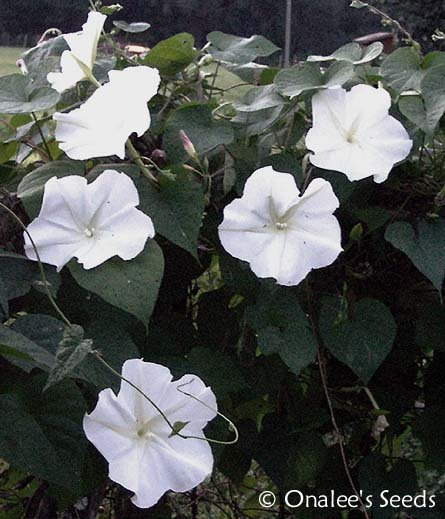 Image 2 of MoonVine Seeds: White, Moonflower, Fragrant Night Bloomer, Ipomoea Alba