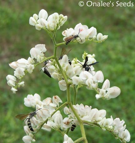 Image 2 of Coral Vine: WHITE Seeds (Antigonon leptopus ''ALBA''), Pollinator attractor!