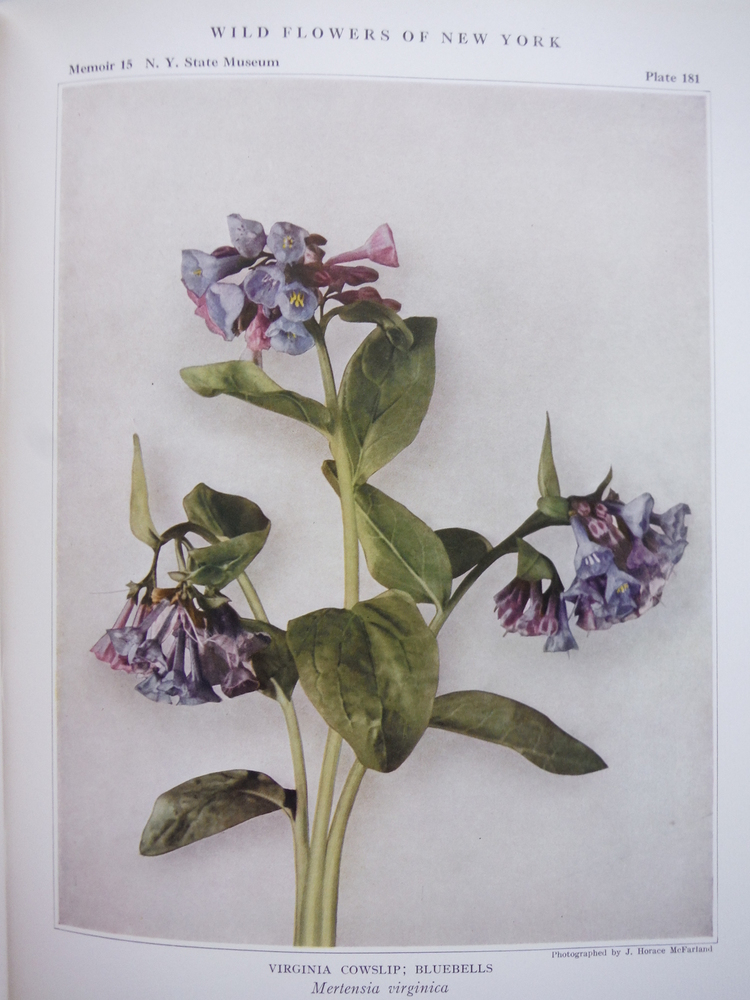 Image 3 of Wild Flowers of New York -- Two Volume Set, (Parts 1 and 2) -- University of the