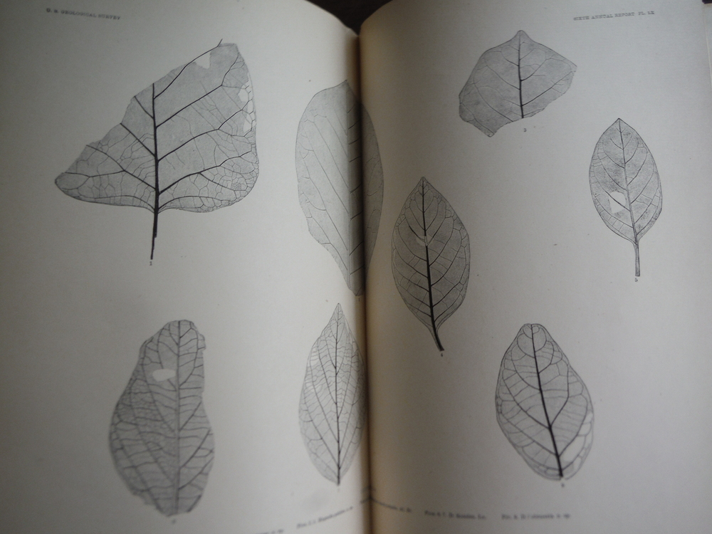 Image 1 of Synopsis of the Flora of the Laramie Group