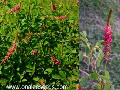 Image 0 of Red Hairy Indigo (Indigofera hirsuta)  Seeds