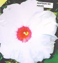 Akatsuki no Hikari, The Light at Dawn, Ipomoea Nil, Japanese Morning Glory seeds