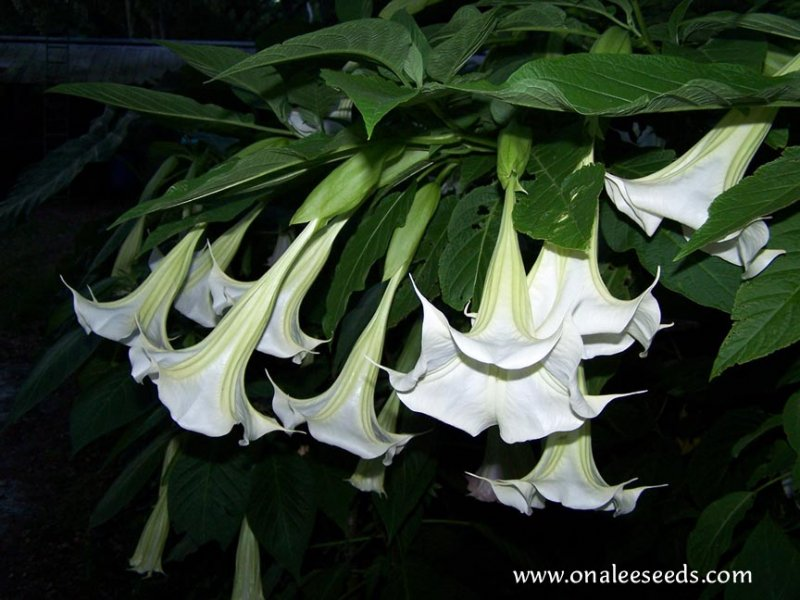 Image 0 of Angel's Trumpet White ''Nina Lane*'' - VERY Fragrant Blooms! Brugmansia Cuttings