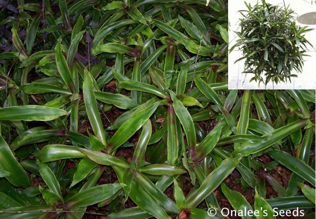 Image 0 of Basket Plant (Callisia fragrans)  Russian Holistic Medicinal Plant