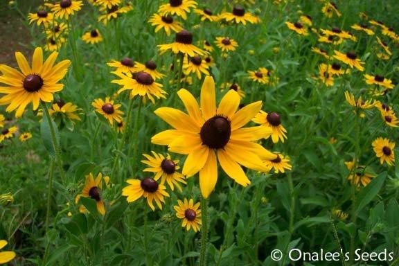 Image 2 of Black-Eyed Susan (Suzy),  Rudbeckia hirta, Seeds