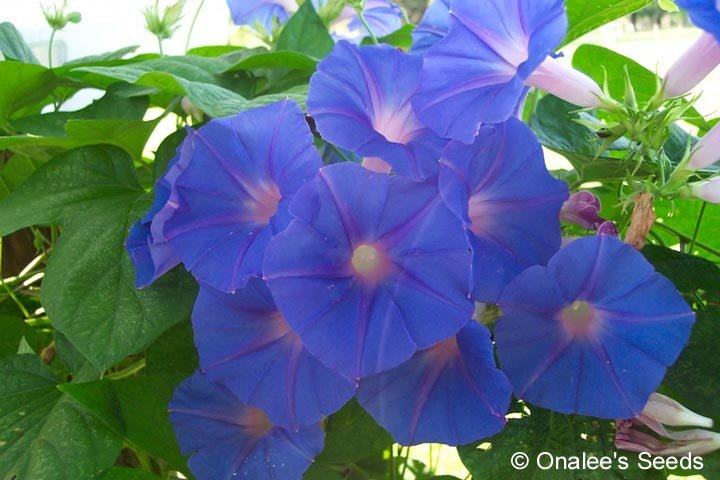 Blue Dawn Flower Morning Glory (Ipomoea acuminata, I. indica)  Rooted Cuttings