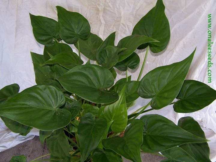 Image 0 of Buddha's Hand,Hooded Dwarf,Hawaiian Hearts Elephant Ear,Taro,Alocasia cucullata