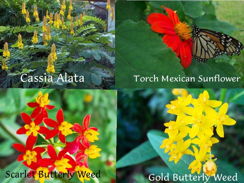 Image 1 of Butterfly Garden Collection! Host and Nectar Plants, 4 packs for price of 3!