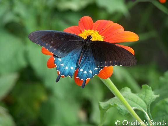 Image 2 of Butterfly Garden Collection! Host and Nectar Plants, 4 packs for price of 3!