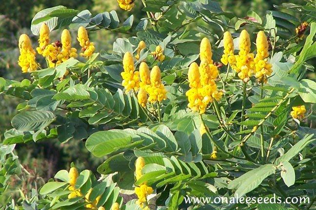 Image 2 of Cassia Alata / Senna Alata / Candlestick / Candelabra Bush Seeds
