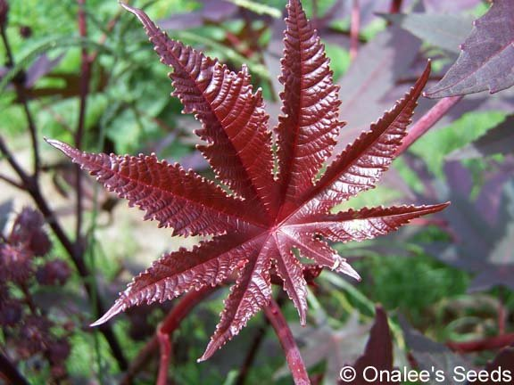 Image 2 of Castor Bean *DEEP PURPLE* Seeds - Tropical Look-Striking! (Ricinus communis)