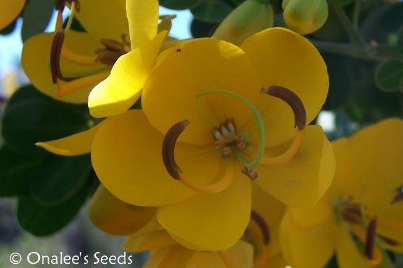Image 0 of Christmas Senna,  Winter Cassia Bush Seeds, Cassia bicapsularis