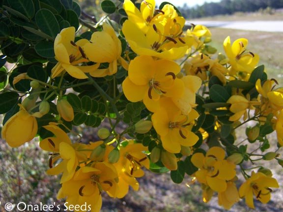 Image 2 of Christmas Senna,  Winter Cassia Bush Seeds, Cassia bicapsularis