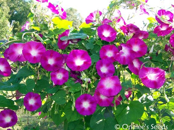 Image 1 of Crimson Rambler Morning Glory (Ipomoea purpurea) Seeds