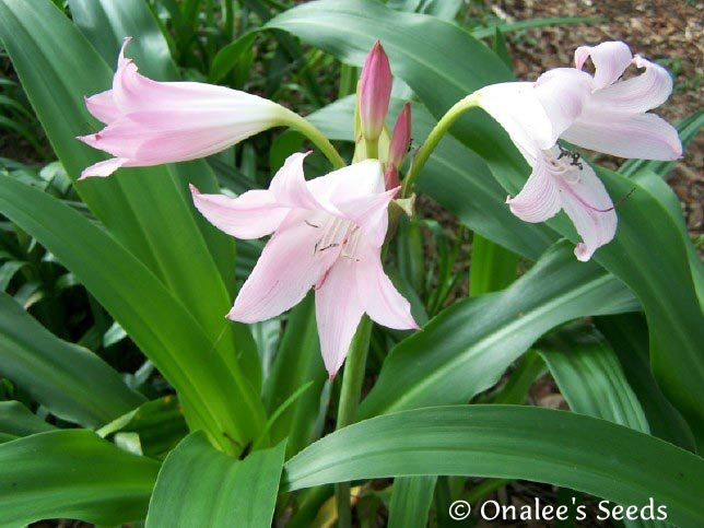 Image 1 of Crinum Lily: Cape Lily, Pass Along Pink,  Light Pink Flowers, Southern Favorite!
