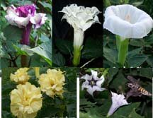 Datura Metel Mixed Double/Triple PURPLE,YELLOW & WHITE, Devil's Trumpet Seeds
