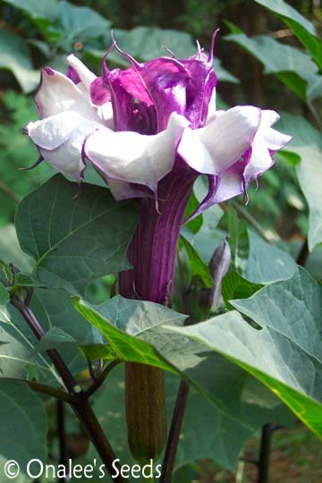 Datura Metel, Double Purple Devil's Trumpet Seeds