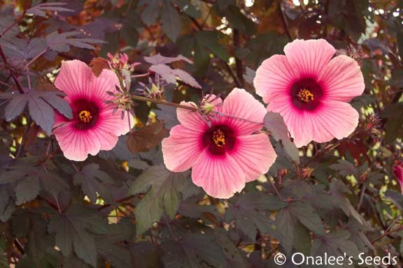 Image 2 of Hibiscus: False Roselle, Red-Leaf, African Rose Mallow (Pink Flowers)