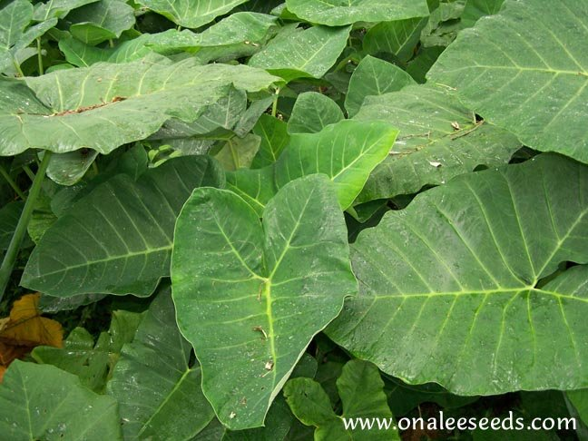 Image 1 of Elephant Ear: Giant Green Tropical Arrow Leaf (Colocasia Esculenta) Taro PLANT
