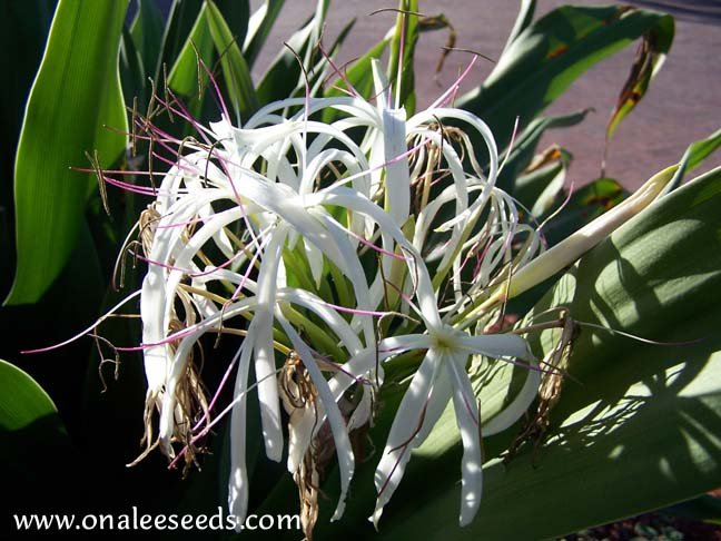 Crinum Lily: C. Asiaticum: Giant White Spider Lily, 5 Small starter plants