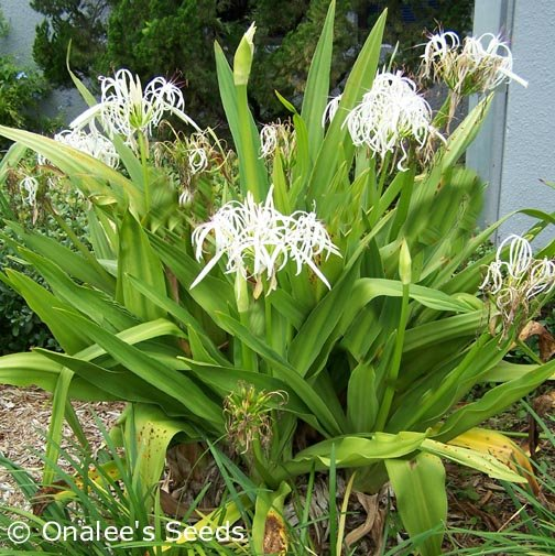 Image 1 of Crinum Lily: C. Asiaticum: Giant White Spider Lily, 5 Small starter plants
