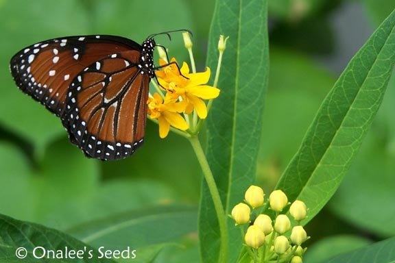 Butterfly Milkweed:Gold/Yellow/Orange (asclepias) Seeds *Monarch BUTTERFLY HOST*