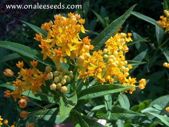 Image 1 of Butterfly Milkweed:Gold/Yellow/Orange (asclepias) Seeds *Monarch BUTTERFLY HOST*