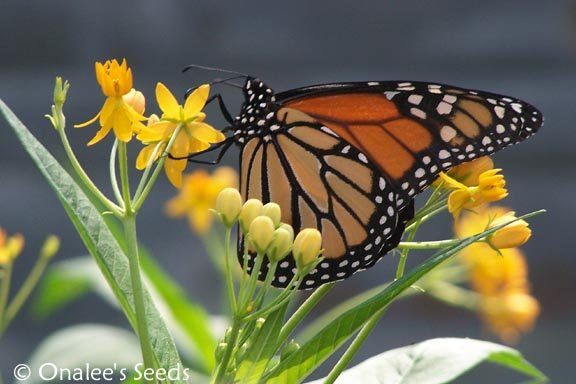 Image 2 of Butterfly Milkweed:Gold/Yellow/Orange (asclepias) Seeds *Monarch BUTTERFLY HOST*