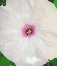 Heian No Kaori, Scent of the Heian Era, Japanese Morning Glory (Ipomoea Nil)