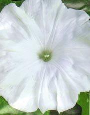 Image 0 of Heian No Yuki, Snow of the Heian Era,Japanese Morning Glory Seeds, Ipomoea Nil