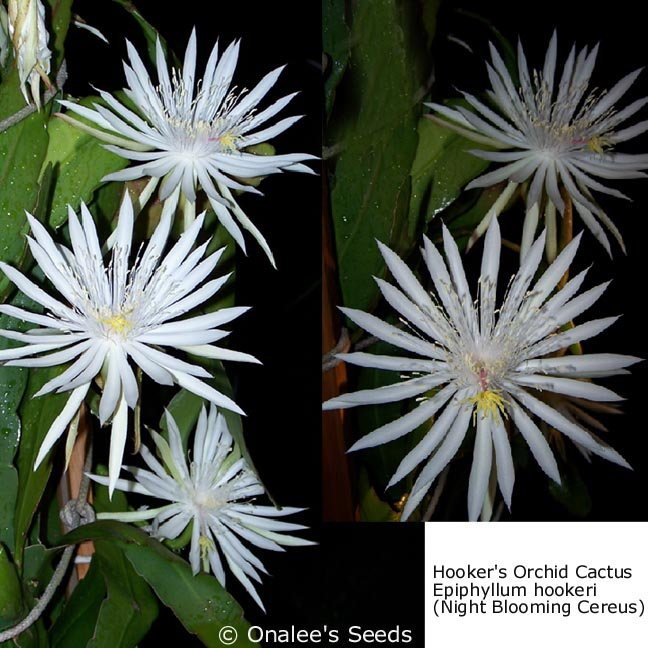 Image 1 of Night Blooming Cereus: Hooker's Orchid Cactus, Epiphyllum hookeri