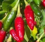 Image 0 of HOT*ORNAMENTAL*EDIBLE Florida Grove Pepper Seeds, Capsicum annuum