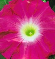 Japanese Morning Glory Seeds: Sekihou (Sekiho),Red Peak of Mountain, Ipomoea Nil