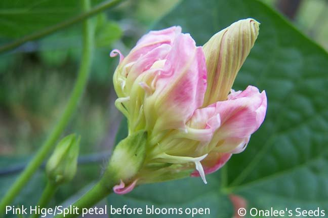 Image 1 of Japanese Morning Glory Seeds: Light Pink HIGE (Feathered), Ipomoea purpurea, See