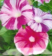 Japanese Morning Glory Seeds: Shibori Asagao Large Flowered Mix Japanese Morning