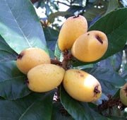 Image 0 of Loquat, Japanese Plum Tree, Eriobotrya japonica Seeds