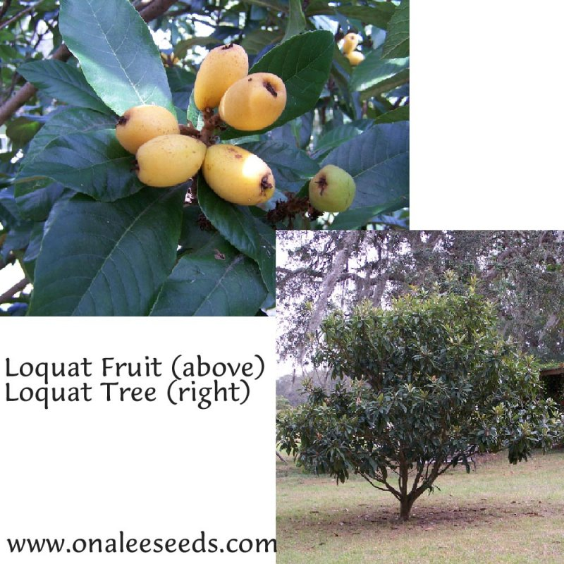 Image 1 of Loquat, Japanese Plum Tree, Eriobotrya japonica Seeds