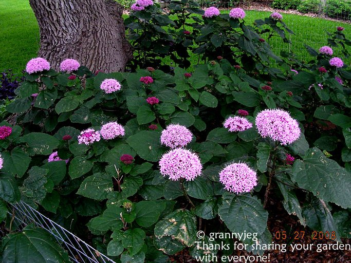 Image 2 of Mexican Hydrangea -  Clerodendrum bungei PLANT