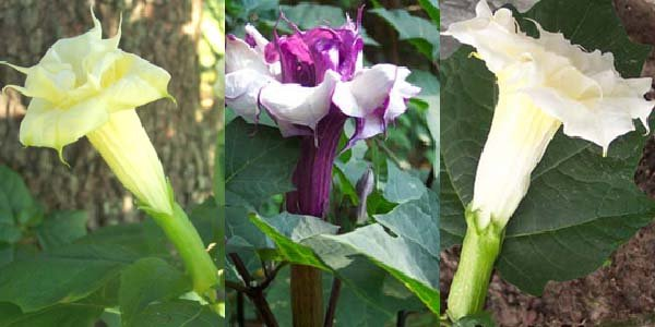 Image 0 of Datura Metel Mixed Double/Triple PURPLE,YELLOW & WHITE, Devil's Trumpet Seeds