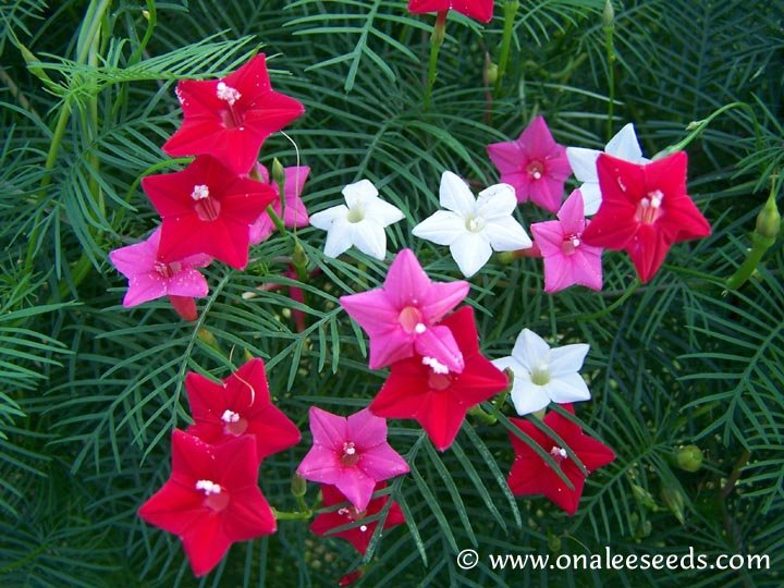Image 1 of Cypress (Hummingbird) Vine: Mixed Red, Pink & White Seeds