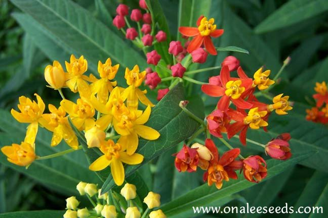 Butterfly Milk Weed: Mixed Scarlet & Gold (yellow/orange) Seeds *Monarchs*