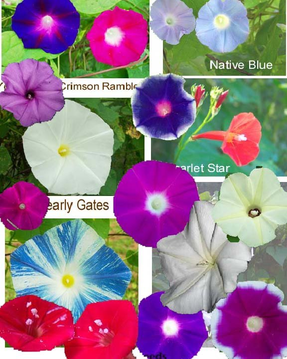 Image 1 of A Morning Glory *Potpourri* Ipomoea Seed Assortment