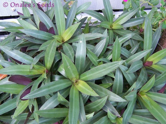 Image 0 of Moses-in-a-Basket / Cradle, Boatlily, Oyster Plant (Tradescantia spathacea)