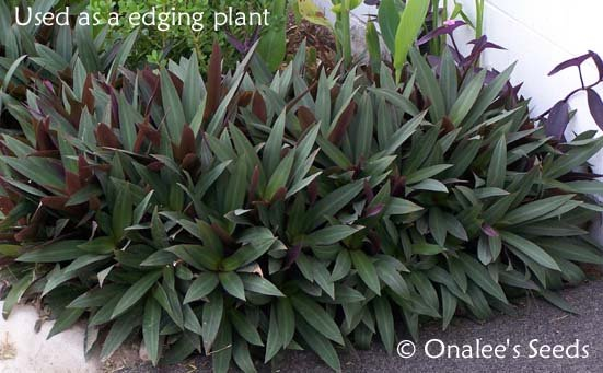 Image 1 of Moses-in-a-Basket / Cradle, Boatlily, Oyster Plant (Tradescantia spathacea)